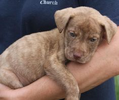 Meet Pippit 22111, a Petfinder adoptable Labrador Retriever Dog   Prattville, AL   Pippit is an 8-week-old male Lab/Shepherd mix. He is a beautiful puppy who is most unusual looking....