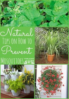 how to prevent mosquitoes.......don't let mosquito's ruin your outdoor party!  Plants repels better than DEET, and are pretty too!