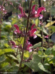 Salvia hierosolymitana. Nom commun : Sauge, Jerusalem sage  Plante herbacé au feuilles vertes, gaufrées. Fleur, à lèvre supérieur lie-de-vin, et lèvre inférieure rosé.     Origine : Chypre, Proche-Orient.