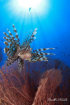 Lion Fish.... Tropical Waters Invader