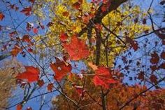 Image result for looking up through autumn tree