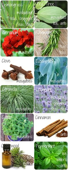 (link) DIY Natural Bug Repellents for Your Body ~ You stink!  That's what you want a bug to think of you.  It's a strange concept to think about, but bugs are either attracted or detracted by scent.  ~ for more great PINs w/good links visit @djohnisee ~ have fun!