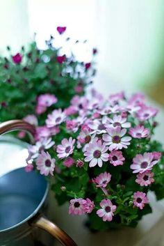 Haru by chibitomu Rare Flowers, Little Flowers, Amazing Flowers, Fresh Flowers, Beautiful Flowers, Potted Flowers, Cut Flowers, Moon Garden, Garden Pictures