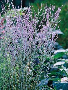 Salvia sylvestris schneehugel salvia perennials and gardens - Tough perennial bloomers drought insect and pest resistant flowers ...