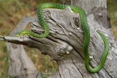 Spotted bush snake, Philothamnus semivariegatus, Akagera National Park, Rwanda
