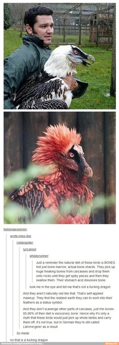 The most metal birds you'll ever meet, the bearded vulture; I heard they'll knock livestock off cliff sides in order to have bones once they die