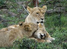 This 3 Days Kenya Safari will take you to the heart of Masai Mara which the home to all the big 5 wild animals: Lion, Born To Be Wild, Beautiful Lion, Game Reserve, African Safari, Animals Of The World, Bird Species, Zebras, Wildlife Photography, Big Cats