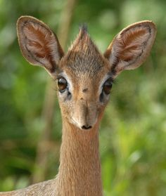 This animal is not only called Kirks dik dik (seriously), but is probably the cutest thing I've ever seen