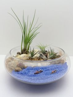 Air plant airiums Tillandsia, or air plants as they are popularly called, are native throughout the southern U.S. and down into South America. The most well known species is the gorgeous, romantic Spa