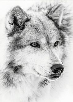 Animals Black And White, Black And White Dog, Black And White Posters, White Dogs, Be Wolf, Wolf Pup, Wolf Poster, Wolf Face, Wolf Spirit Animal