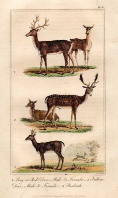 Stag Deer Roebuck Original 1821 Buffon Antique Print Hand Coloured Animal Engrav | eBay