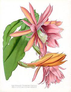 Botanical print by Paxton of The Hybrid Crenate Cactus Cactus Decor, Cactus Art, Botanical Drawings, Botanical Illustration, Botanical Flowers, Botanical Prints, Historia Natural, Container Flowers, Fauna