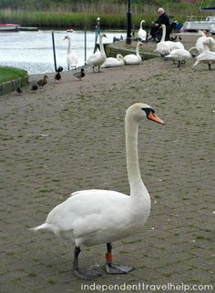 Thieving swans