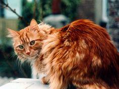 long haired ginger cat - Google zoeken
