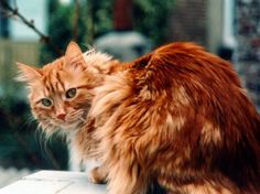 long haired ginger cat - Google zoeken