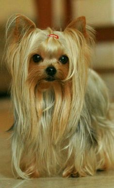 Facts About Your Yorkshire Terrier. Yorshire Terrier, Silky Terrier, Yorkshire Terrier Haircut, Yorkshire Terrier Puppies, Puppies And Kitties, Yorkie Puppy, Doggies, Yorky, Teacup Yorkie