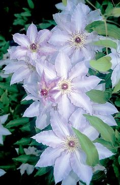 CLEMATIS CLAIR DE LUNE,  Free flowering with blooms showing a subtle shading of white suffused with pale lila. Best in a slightly shaded location.  Size: 8'-10' tall.. Bloom time: Late spring to early summer, late summer to early fall. Plant zones: 4-9. Prune 2. first flowering comes from last season's ripened stems. In early spring, watch for swelling leaf buds beginning to show. Cut all dead material off above these swelling buds.