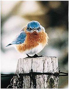 "Angry Bluebird..he looks like he is thinking ""Who the HELL are you calling ADORABLE?!"""