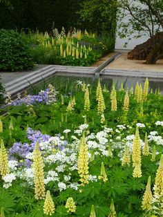 Laurent-Perrier #garden by Luciano Giubelli at the RHS Chelsea Flower Show 2014 in #London, UK - I just loved those yellow lupins!