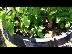 Moringa grow starter Kits -
