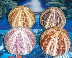 """4 to 5"""" ENGLISH CHANNEL SEA URCHIN SEA SHELL BEACH DECOR NAUTICAL TROPICAL in Collectibles, Rocks, Fossils & Minerals, Shells 