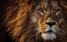 Free Image on Pixabay - Lion, Predator, Dangerous, Mane Best Picture For hairy chest jeans For Your Photography Marketing, Photography Contests, Photography Courses, Wildlife Photography, Animal Photography, Event Photography, Photography Photos, King Photography, Photography Backdrops