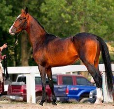 Our Horses - Sweet Water Farm Akhal-Teke - Victory