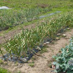 今回の収穫は、にんにく、黄たまねぎ、赤たまねぎ、ブロックリー