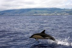 Dolphins Terceira Azores