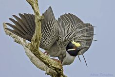 """500px / Photo """"Yellow-crowned Night Heron"""" by Andrew Richardson"""