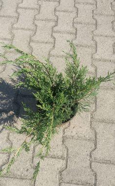 Ginepro Juniperus Horizontalis Green Verde - Vendita Piante Online - CompraPiante by Piante Frosini