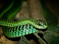 The Boomslang (Dispholidus typus) is an extraordinarily dangerous snake found in sub-Saharan Africa.