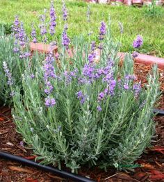 Munstead lavender Sprinkle bone meal or other phosphorus-rich fertilizer around each plant in the fall to make it stronger and more winter hardy. Work the fertilizer into the first inch of soil, or let the rain soak it in. Home Depot. Lavandula Angustifolia Munstead, Deer Proof Plants, Fall Plants, Drought Tolerant, Ikebana, Herb Garden, Gardening Tips, Flower Gardening