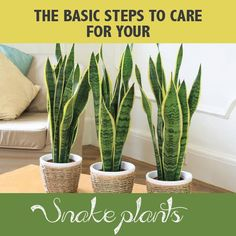 Did you know snake plants are succulents!?! I never did! Maybe that's why I ended up killing the last one I had... oops! // How To Care for a Snake Plant