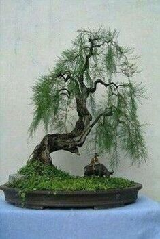 Bonsai styles are different ways of training your bonsai to grow the way you want it to. Get acquainted with these styles which are the basis of bonsai art. Bonsai Tree Types, Indoor Bonsai Tree, Bonsai Trees, Mini Bonsai, Bonsai Garden, Garden Trees, Trees To Plant, Succulents Garden, Ikebana