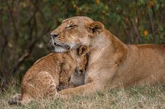 I'd say this is adorable if I didn't know these are big big big cats....