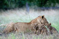 Matusadona Lion Project Beautiful Family, Beautiful Cats, World Lion Day, Lion Cub, Cubs, Lions, National Parks, Zimbabwe, Animals