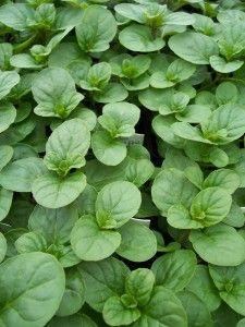 Orange Mint--Mentha piperita 'Citrata'