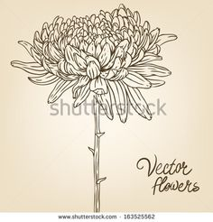 Chrysanthemum: Vintage hand-drawing background with flowers. Vector illustration.  by Gorbash Varvara, via ShutterStock