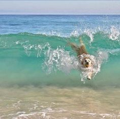 puppies at the beach & puppies on beach . puppies at the beach . cute puppies at the beach . cute puppies golden retriever the beach . cute puppies on beach Cute Baby Animals, Animals And Pets, Funny Animals, Cute Puppies, Cute Dogs, Dogs And Puppies, Doggies, Puppies Stuff, Puppies Puppies