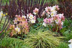 Create splendid winter combinations like this one. Choose easy-to-grow evergreen plants that will add texture and color to the garden from fall to spring. Combine the narrow arching creamy-yellow leaves of Carex oshimensis 'Evergold' (Sedge) with the Spring Garden, Winter Garden, Lenten Rose, Deer Resistant Plants, Winter Plants, Christmas Rose, Garden Borders, Foliage Plants, Types Of Soil