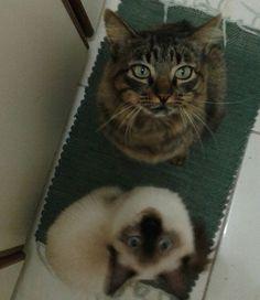 Carlos e Lisa estão ajudando a tia do Lar Temporário a cozinhar! Adote um gatinho, será uma grande fofura em sua vidQuem quer ter esses ajudantes lindos em casa? ❤️ #umlarparacarlos #umlarparalisa #miaudote --------------------------------------------------- www.catland.org.br www.catlandlojinha.com.br  contato@catland.org.br --------------------------------------------------- #catland #gocatland #catlandrescue #instacats #catlovers #catsofinstagram #catoftheday #ilovecats #adote…