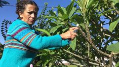 This's how to care for you plumeria during storms season and winter and also trimming in to a tree shape blooming fertilizer name phosphorus you can purchase. Plumeria Care, Orchid Roots, Tree Shapes, Tropical Flowers, Storms, Container Gardening, Hibiscus, Arm Warmers, Seasons