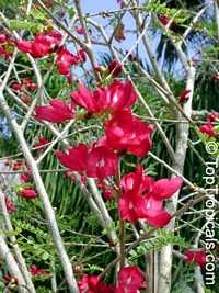 Cassia grandis, Pink Shower, Coral Shower, Horse Cassia  Click to see full-size image