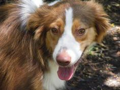 Velvet is an adopted Australian Shepherd Dog in Dallas, TX. APPLICATION MUST BE COMPLETED: www.northdallasdogrescue.org ADOPTION FEE: $300 GRACE, ENNIS, AND VELVET are 3 beautiful Australian Shepherds...