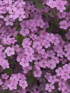 Saponaria ocymoides ~ aka   Rock Soapwort ~ great for rock gardens or stepping stone paths