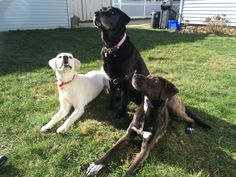 White, black and chocolate labs ❤️ vita loves making new friends ☺️