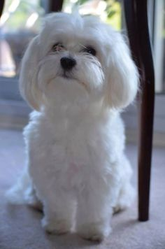 A soft lap full of beautiful white hair, nothing like a Bichon.   V. Walton