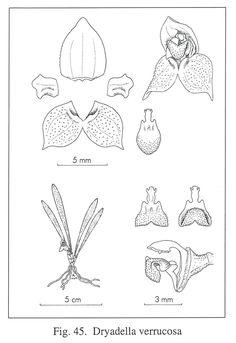 Dryadella verrucosa