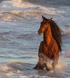 Beautiful dark glowing shiny Chestnut colored horse running knee deep in the ocean waves. Gorgeous long flowing mane and pretty face!